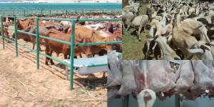 Livestock-Export